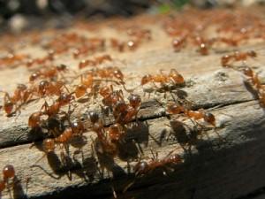fire-ants-400x300